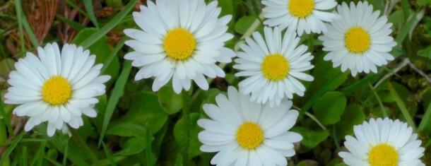 Sonntagsyoga- die kraft des gänseblümchens